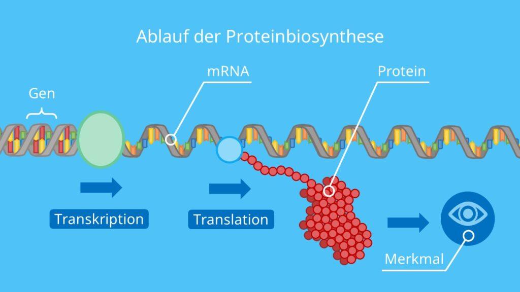 Ablauf der Proteinbiosynthese, Transkription, Translation, Proteinherstellung, DNA, mRNA, tRNA, Protein, Ribosom, Merkmal