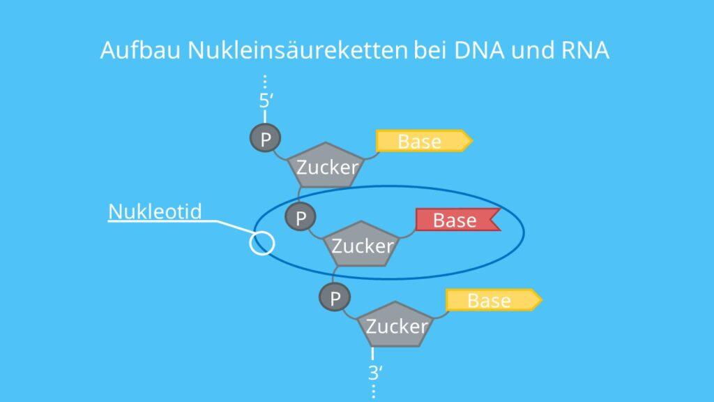 Aufbau Nukleinsäureketten, DNA, RNA, Nukleotid, Base, Phosphat, Zucker