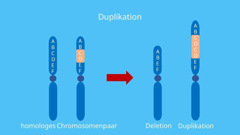 Chromosomenmutation, Chromosomenaberation, Chromosom, Duplikation homologe Chromosomen