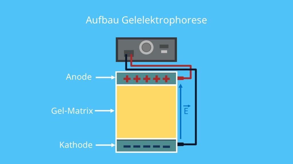 Gelelektrophorese, Aufbau, Agarose, elektrisches Feld