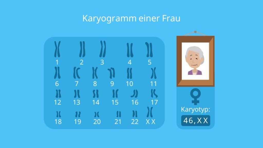 Karyogramm Frau, Chromosomen, Autosomen, Gonosomen