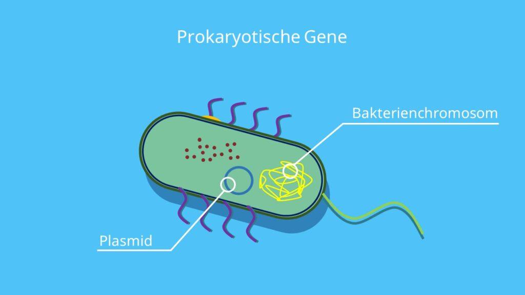 Prokaryotische Gene, Bakterienchromosom, Plasmid, Bakterien, Prokaryoten, DNA