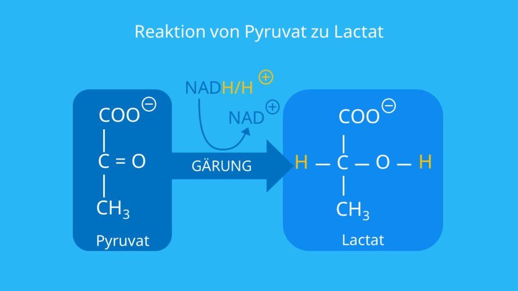 homofermentative Milchsäuregärung, anaerob, NADH/NAD+, Brenztraubensäure, Gärung, anaerober Stoffwechsel, Milchsäure Strukturformel