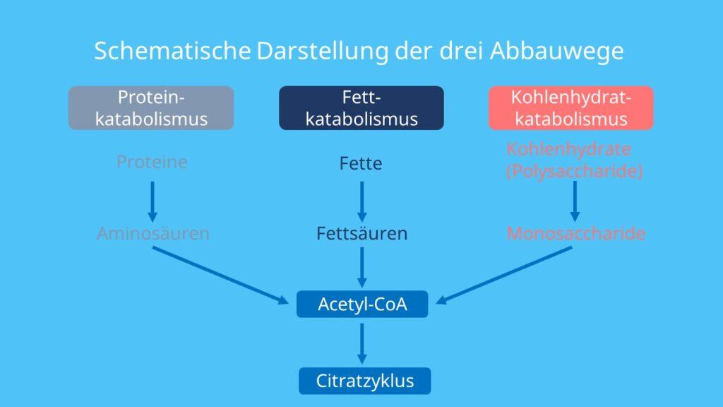 Proteine, Fette, Kohlenhydrate, Metabolismus, Citratzyklus