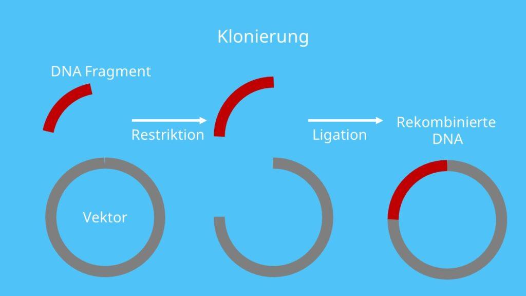 rekombinante DNA, künstliche Rekombination, Vektor, Klonierung, Restriktion, Ligation
