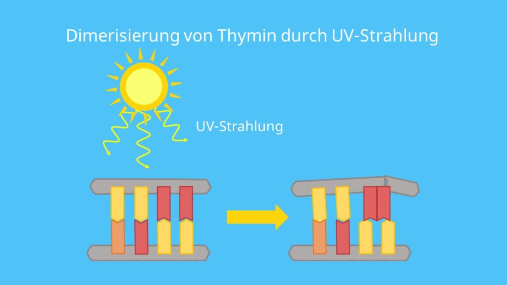 Mutagene, UV-Strahlung, DNA, Thymin, Adenin, Dimerisierung, Mutation
