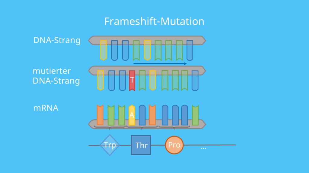 Codon, DNA, mRNA, Punktmutation, Base, Mutation, Aminosäuresequenz, Phänotyp, Proteinbiosynthese, Translation, Rastermutation