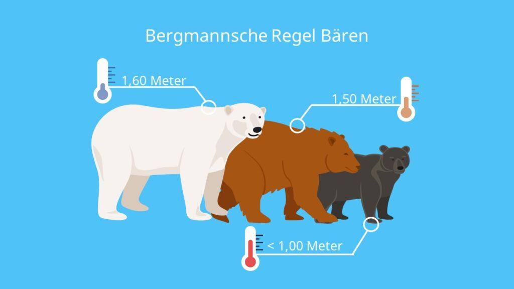 Beispiel, Bergmann Regel, Klimaregel, Klima, Körpergröße, Körpermasse, Bären Arten