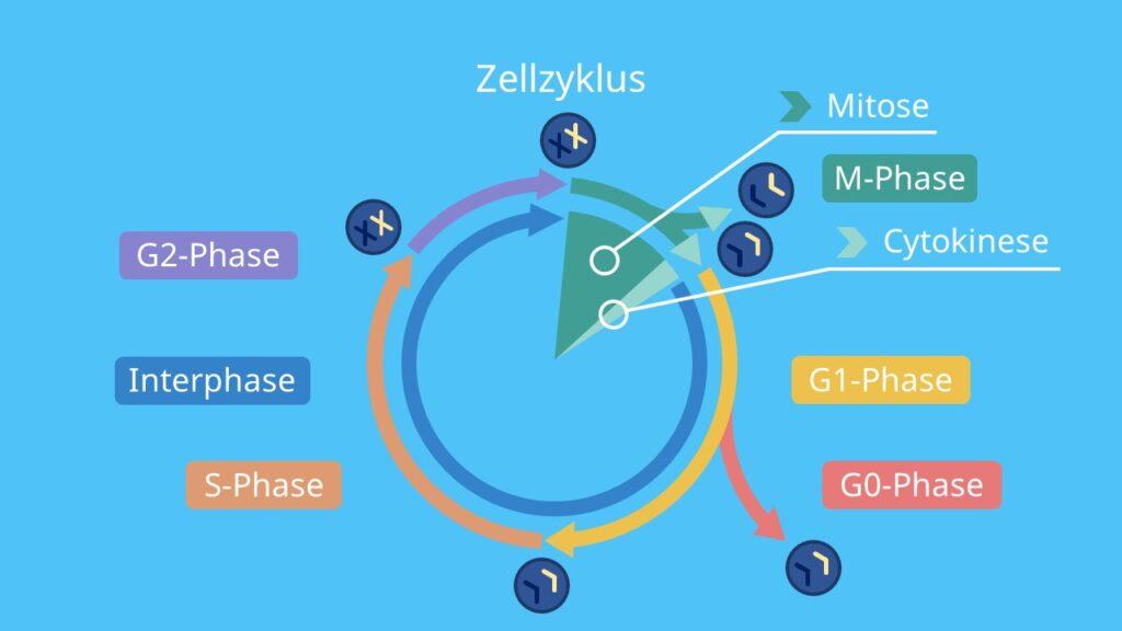 Zellzyklus, Interphase, M-Phase, G1-Phase, G0-Phase, G2-Phase, S-Phase, Mitose, Cytokinese