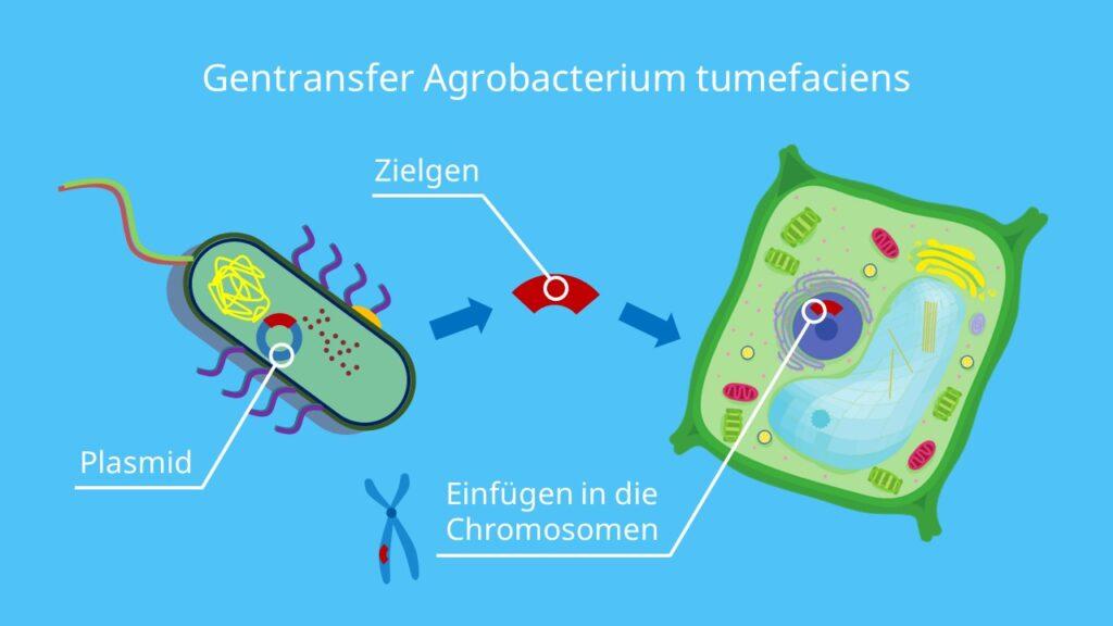 Gentransfer, Agrobacterium tumefaciens, Vektor, Plasmid, Genfähre