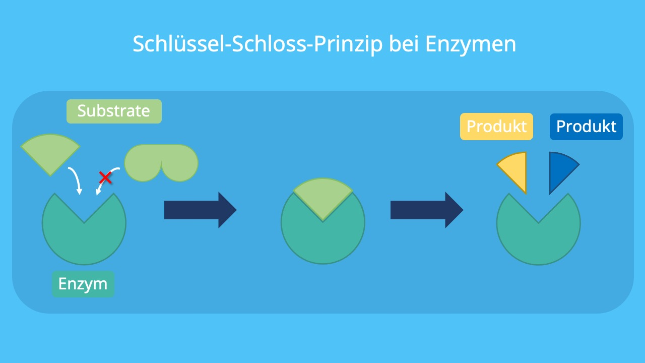 Enzym-Substrat-Komplex, Substratspezifität, aktives Zentrum, Substrate