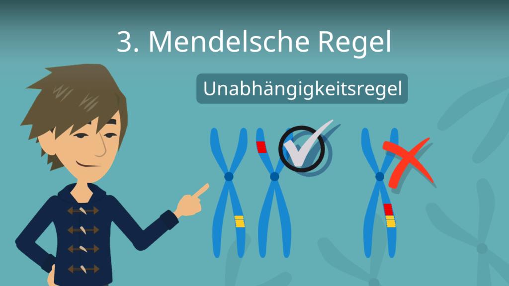 Zum Video: 3. Mendelsche Regel