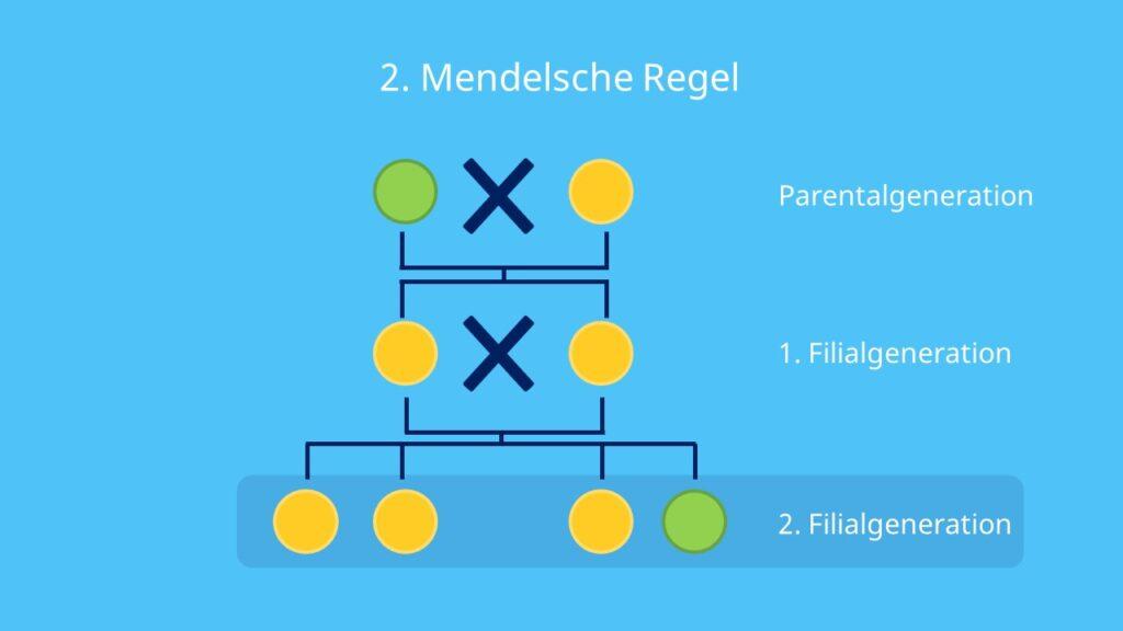Parentalgeneration; Spaltungsregel, Phänotyp, Genotyp, Erbsensamen, Erbsenfarbe