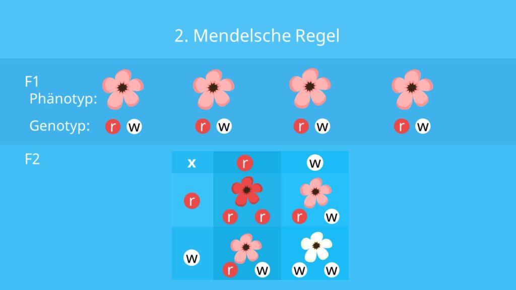 Phänotyp, Genotyp, 2. mendelsche Regel, Kreuzungsschema; Blütenfarbe, intermediärer Erbgang