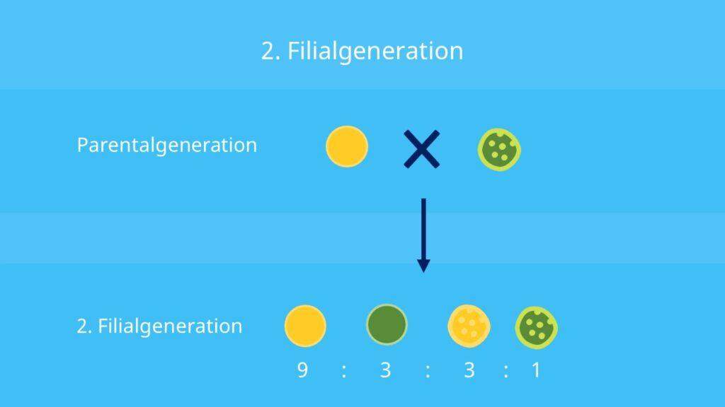 3. Mendelsche Regel, Uniformitätsregel, Filialgeneration, Dihybride, Dihybridenkreuzung, Erbsensamen