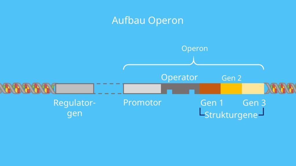 Operon, Regulatorgen, Promotor, Operator, Strukturgene, DNA, Transkription, Genregulation, Prokaryoten