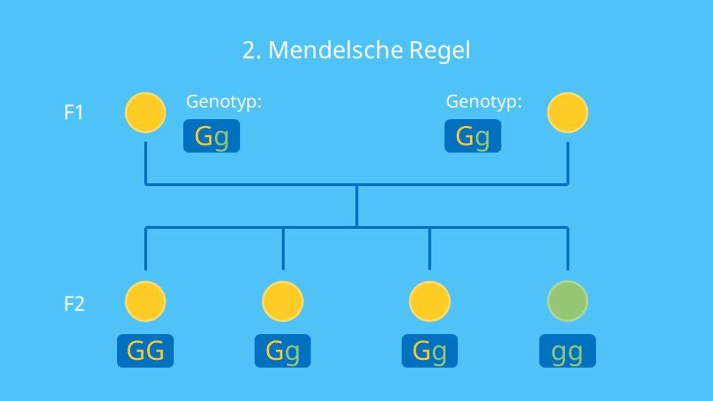 monohybrider Erbgang, Phänotyp, Genotyp, Spaltungsregel, Mendel, Erbsen Parentalgeneration, F1- Generation; F2-Generation