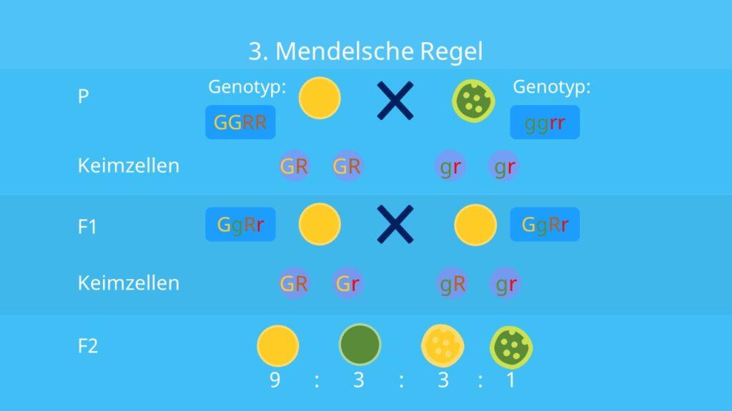 Unabhängigkeitsregel, Rekombination, Parentalgeneration, F1- Generation, F2-Generation, Mendelsche Regeln, Vererbung, Erbsensamen, Farbe, Form, Dihybridererbgang