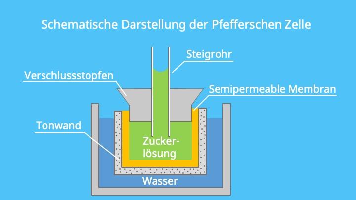 osmotischer Druck Zelle, permeable Membran, Osmose