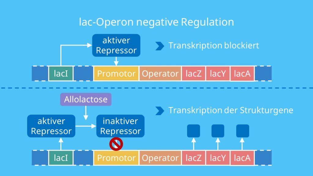 lac Operon negative Regulation, Repressor, Lactose, lac Operon, Transkription, Promotor, Strukturgene, Substratinduktion, IPTG, Allolactose