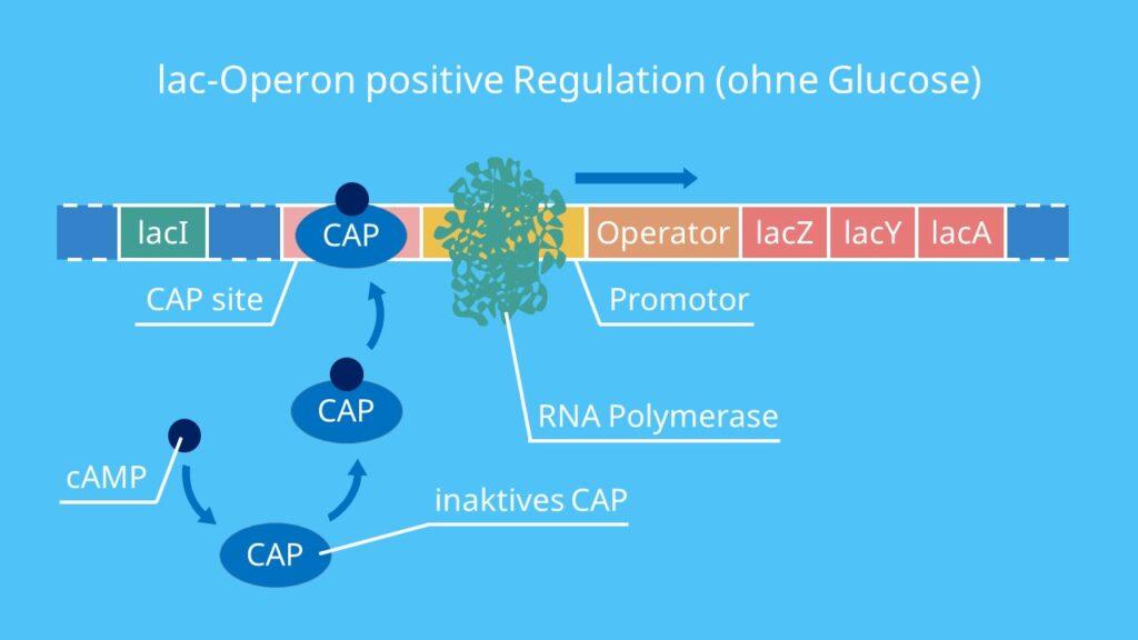 lac Operon positive Regulation (ohne Glucose), CAP, cAMP, Aktivator, Katabolitrepression, Promotor, RNA-Polymerase, Transkription, lacZ, lacI