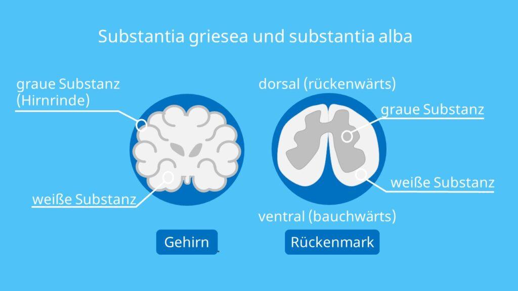 Graue Substanz, Weiße Substanz, Zentrales Nervensystem, ZNS, Zentralnervensystem, Rückenmark, Gehirn