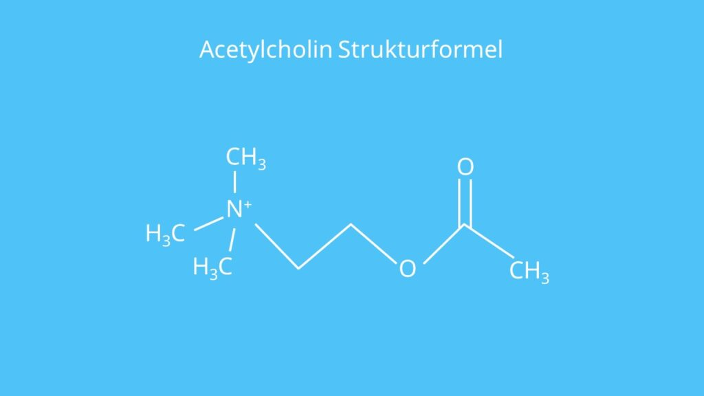 Acetylcholin, Acetylcholine