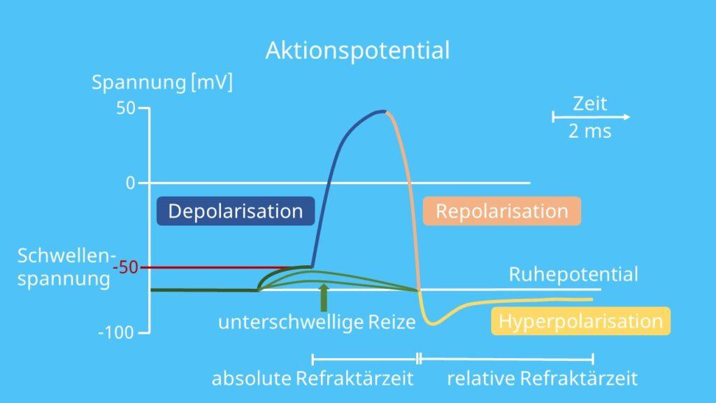 Schwellenspannung, Aktionspotential, Ruhepotential, Depolarisierung, Repolarisierung, Hyperpolarisation