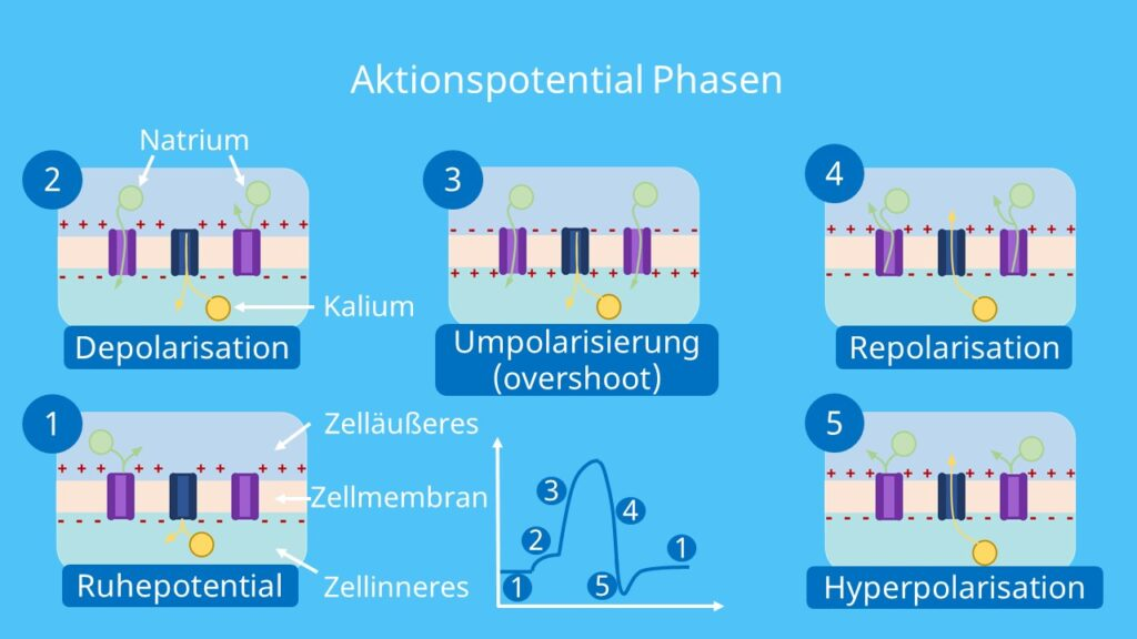 Ruhepotential, Depolarisierung, Repolarisierung, Schwellenpotential, overshoot, undershoot, Hyperpolarisation, Natriumkanäle, Kaliumkanäle, Aktionspotential