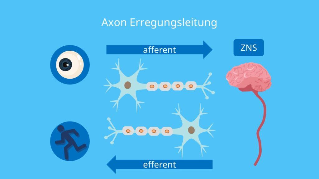 afferent, efferent, zentrales Nervensystem