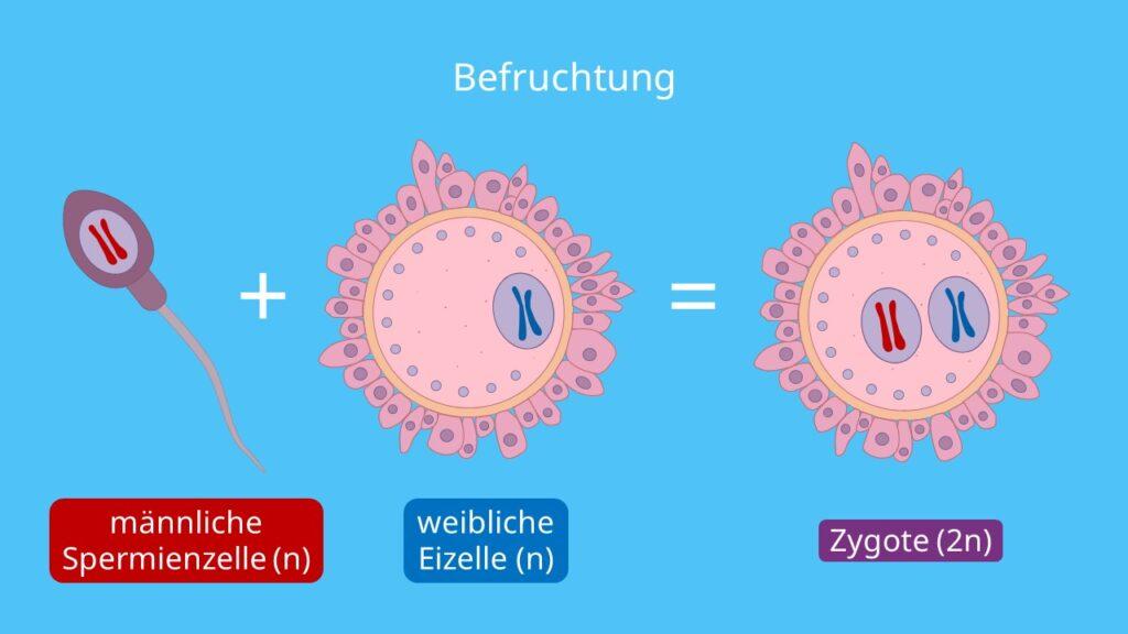 Befruchtung, weibliche Eizelle, männliche Spermienzelle