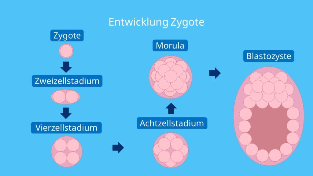 Entwicklung Zygote, Morula, Blastozyste, Blastomer