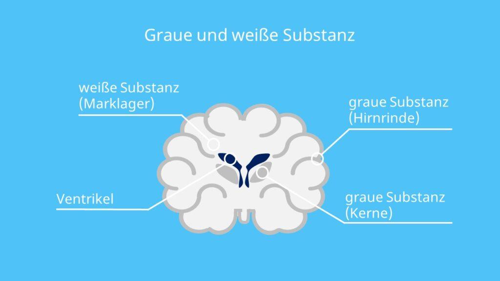 graue Masse, Gehirn Querschnitt, Hirnrinde, weiße Substanz, graue Substanz