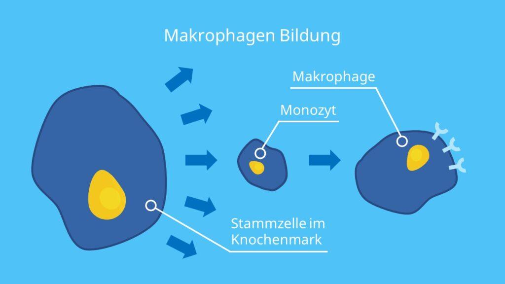 Makrophagen Bildung, Monozyten Makrophagen, Was sind Monozyten, Was sind Makrophagen