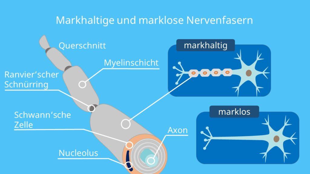 markhaltige Nervenfaser, marklose Nervenfaser, Myelinisierung, Ranvier'scher Schnürring, Schwann'sche Zelle