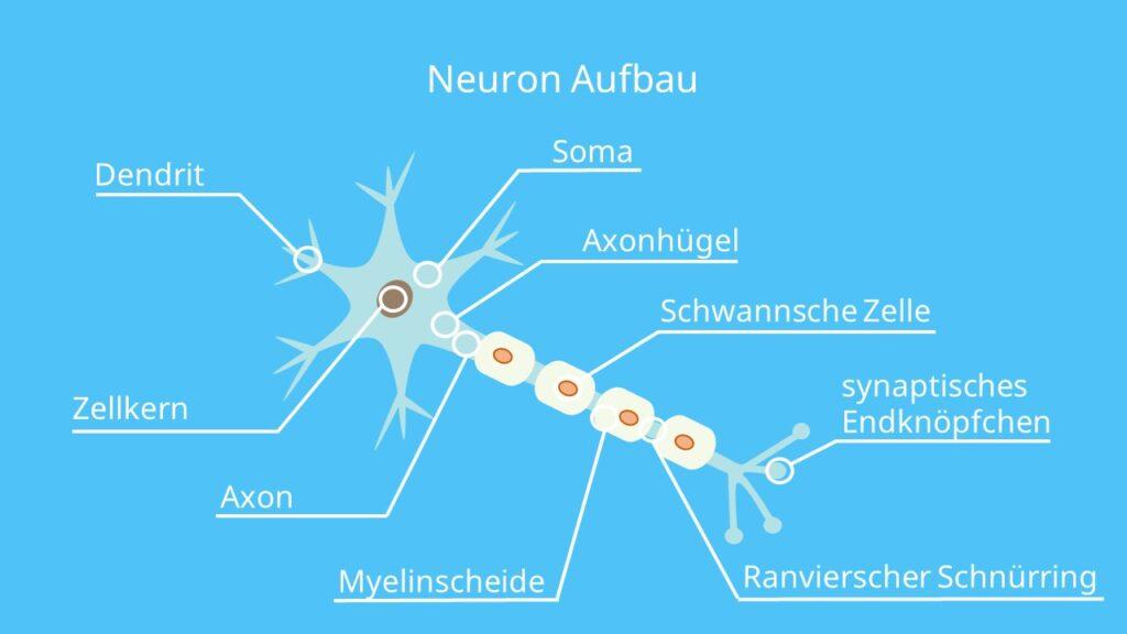 Nervenzelle, Neuron, Dendrit, Zellkern, Soma, Axon, Axonhügel, Myelinscheide, Ranvierscher Schnürring, Schwannsche Zelle, synaptisches Endknöpfchen