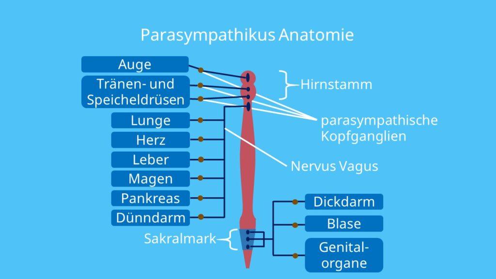 Sakralmark, Cannon Böhm Punkt, Nervus vagus, parasympatische Kopfganglien, Rückenmark