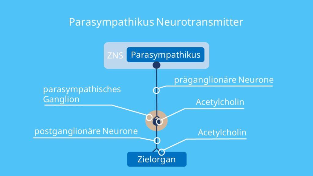 Acetylcholin, Neurotransmitter parasympathikus, parasympatikus