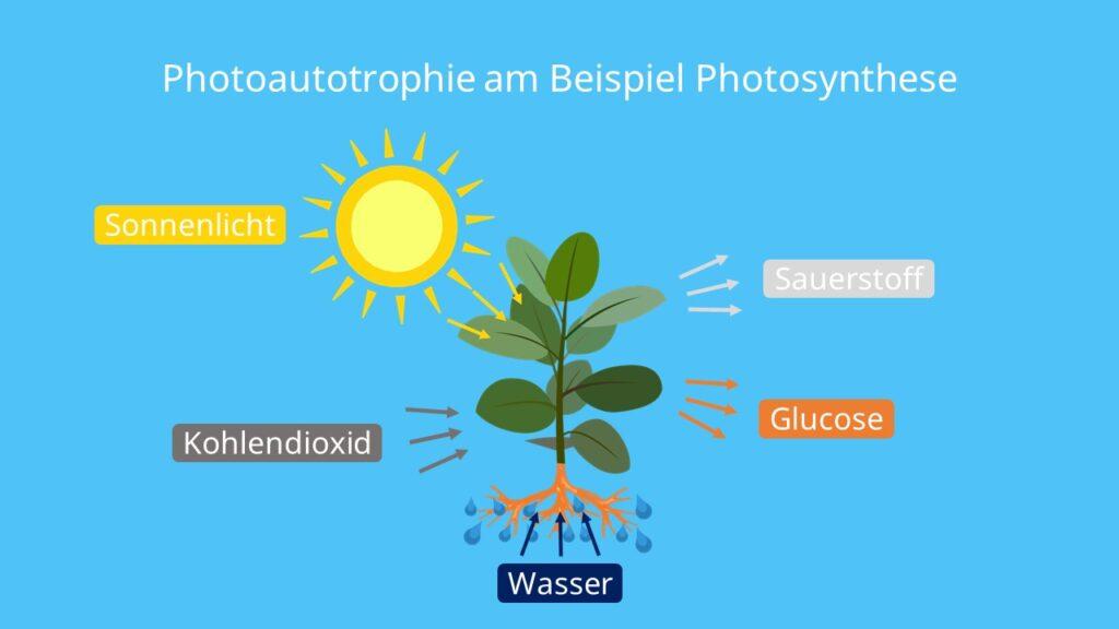 Photoautotrophie am Beispiel Photosynthese, Photoautotrophie, autotrophe, autotrophe Organismen, autotrophe Lebewesen, autotrophe Ernährung