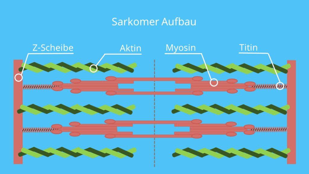 Myosin, Myosinköpfchen, Z-Scheiben, Aktin, Aktinfilamente, Titin