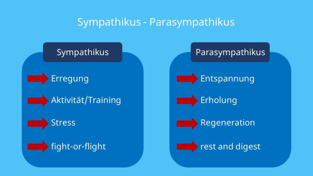 Sympathikus, fight-or-flight, ergotrop, vegetatives Nervensystem, Simpatikus, Sympatikus, sympathicus