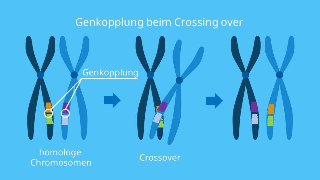 Crossing over, Genkopplung, Crossing over Bedeutung