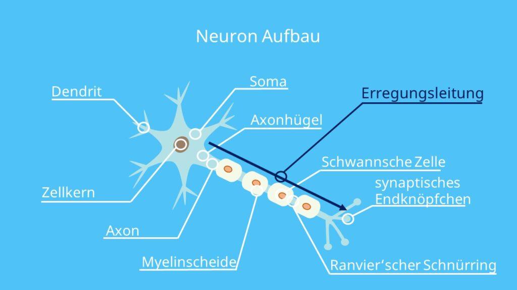 Erregungsweiterleitung, Axonhügel, Axon, Aktionspotential Nervenzelle, Reiz