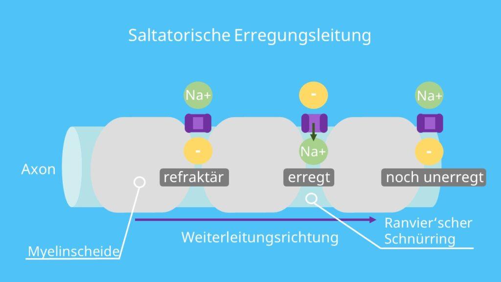 saltatorisch, Refraktärzeit, Myelinscheide, Ranvierscher Schnürring Funktion, Depolarisierung