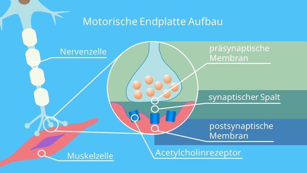 neuromuskuläre Synapse, Endplattenpotential, synaptischer Spalt, Synapse, Synapse Aktionspotential, Motoneuron