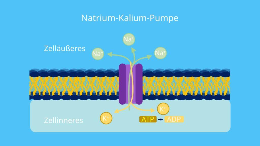 Na+, Antiport, Na K ATPase, aktiver Transport, Na K Pumpe, ionenpumpe