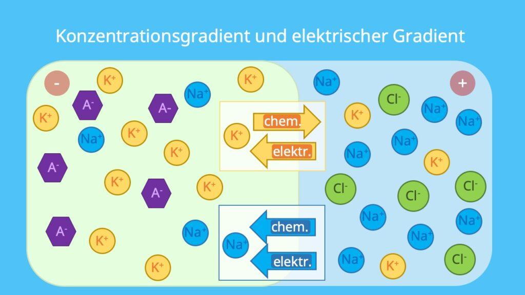 elektrochemische Triebkraft, semipermeable Membran, Diffusionspotential, Konzentrationsgefälle, brownsche Molekularbewegung, Diffusion, Spannung