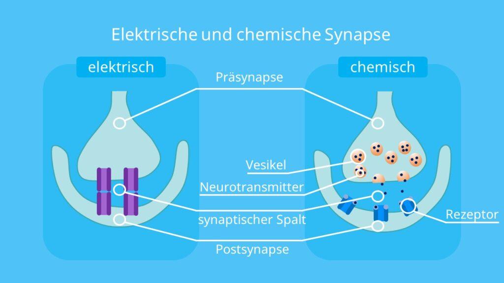 chemische synapse, elektrische synapse, neurotransmitter, präsynapse, postsynapse, synaptischer spalt, synaptische übertragung, reizweiterleitung