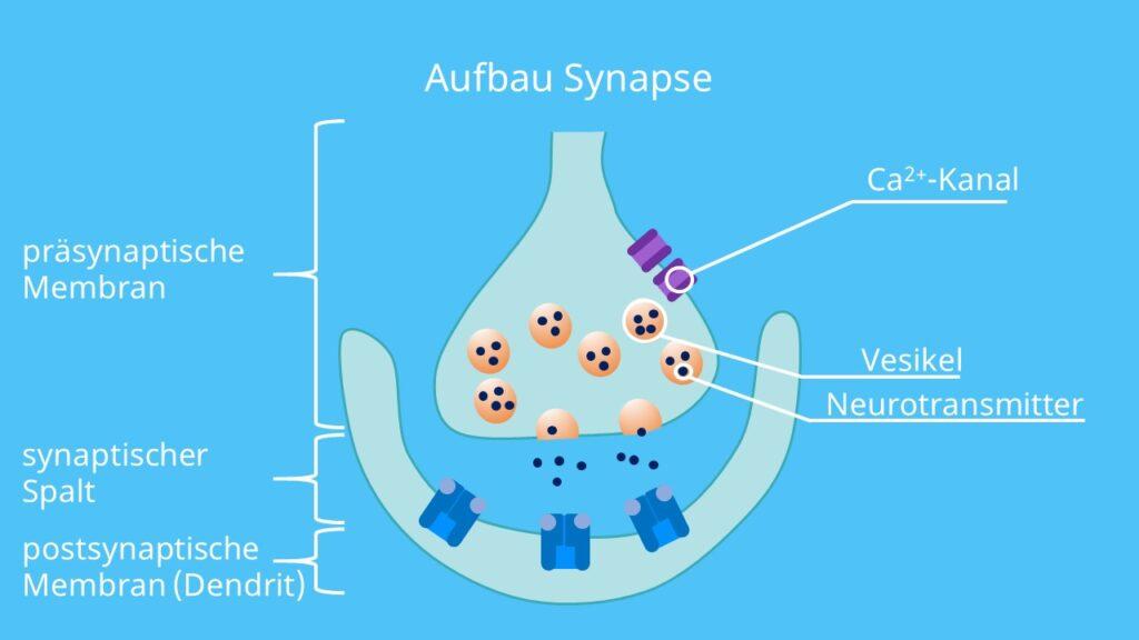 präsynaptische Membran, synaptischer Spalt, Postsynaptische Membran
