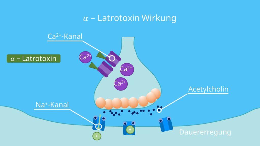 Vesikel, Calciumionen, alpha Latrotoxin